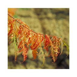 Rhus glabra 'Laciniata'