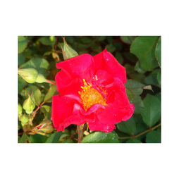 Rose 'Easy Elegance Great Wall'