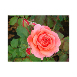 Rose 'Easy Elegance Kiss Me'