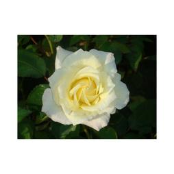 Rose 'Easy Elegance Macys Pride'