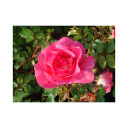 Rose 'Easy Elegance Sunrise Sunset'
