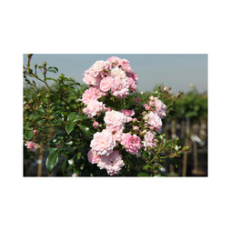 Rose 'The Fairy' (Polyantha) (Large Plant)