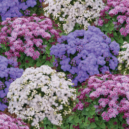 Ageratum houstonianum 'Pincushion Mixed'