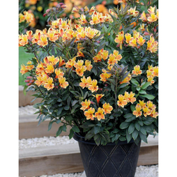 Alstroemeria 'Summer Breeze'