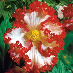 Begonia 'Crispa Marginata' White-Red