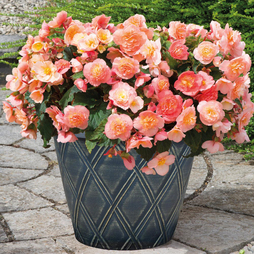 Begonia 'Fortune Peach Shades'