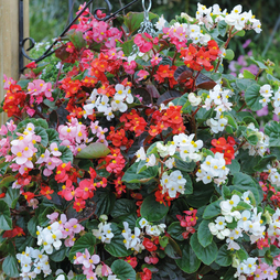 Begonia semperflorens 'Summer Jewels Mixed' (Garden Ready)
