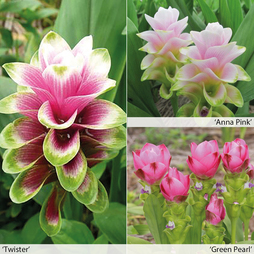 Curcuma Collection