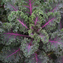 Kale 'Midnight Sun'