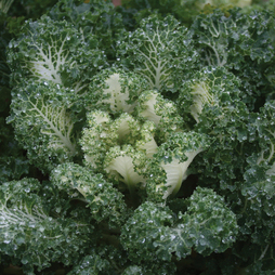 Kale 'Emerald Ice'