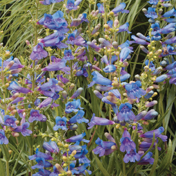 Penstemon 'Summer Bluebell'