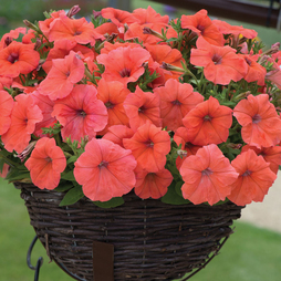 Petunia 'Orange Punch'