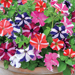 Petunia 'Stars and Stripes'