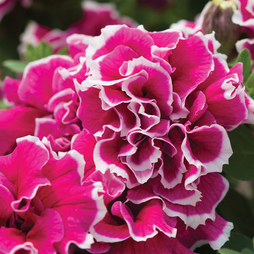 Petunia 'Frills and Spills Anna'