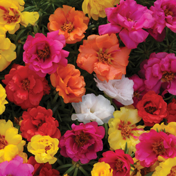 Portulaca 'Happy Hour Mixed'