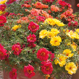 Portulaca 'Tropical Mixed'