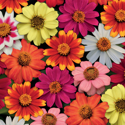 Zinnia 'Zahara' Single-Flowered Mixed (Garden Ready)