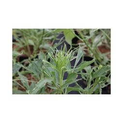 Sambucus nigra 'Linearis'