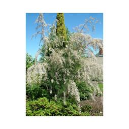 Tamarix ramosissima 'Hulsdonk White'