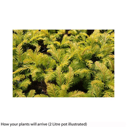 Taxus baccata 'Kupfergold'