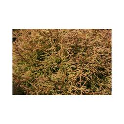 Thuja occidentalis 'Golden Tuffet'