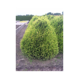 Thuja plicata 'Little Boy'