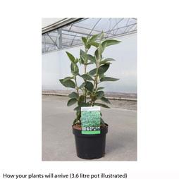 Viburnum lantana 'Mohican'