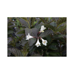Weigela 'Ebony and Ivory'