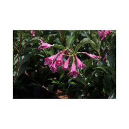 Weigela florida 'Korea'
