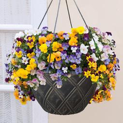 Viola 'Teardrops' (Pre-Planted Basket)