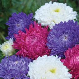 Aster 'Milady Mixed'