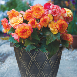 Begonia x tuberhybrida 'Patio Apricot Shades Improved' F1 Hybrid (Pre-Planted Pot)