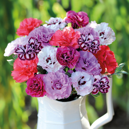 Dianthus 'Scents of Summer' Collection