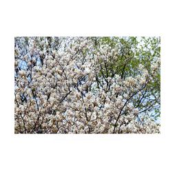 Amelanchier (Hedging)