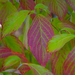 Common Dogwood (Hedging)