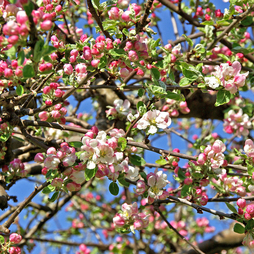 Crab apple (Hedging)