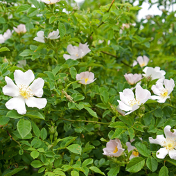 Dog rose (Hedging)