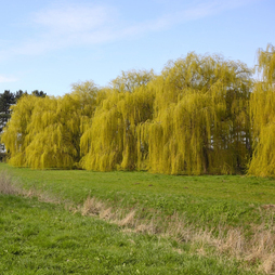 Golden Weeping Willow (Hedging)