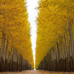 Lombardy Poplar (Hedging)