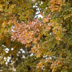 Oak (Hedging)