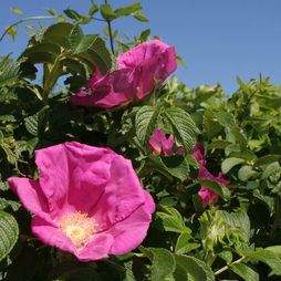 Ramanas Rose (Hedging)