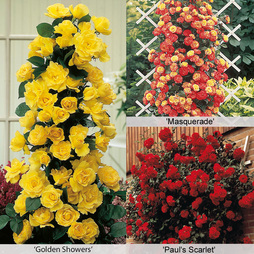 Rose 'Climbing Collection'