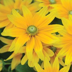 Rudbeckia hirta 'Prairie Sun' (Garden Ready)