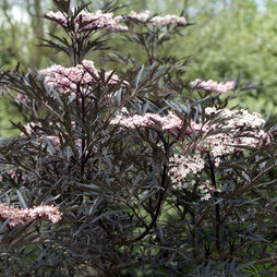 Sambucus nigra f. porphyrophylla 'Eva'