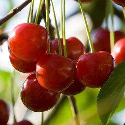 Cherry 'Summer Sun'