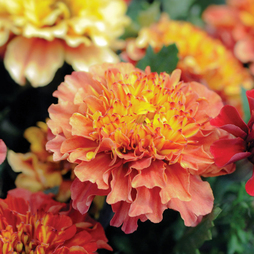 Marigold 'Strawberry Blonde'