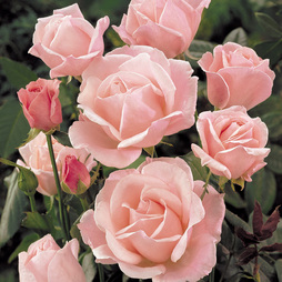 Rose 'Queen Elizabeth' (Floribunda Rose)