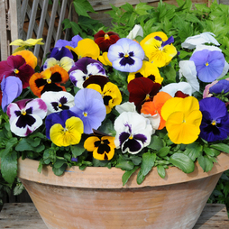 Pansy Summertime Mix (Garden Ready)