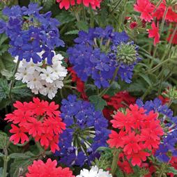 Verbena 'Union Jack Mixed' (Garden Ready)