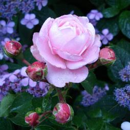 Rose 'Inner Wheel Forever®'